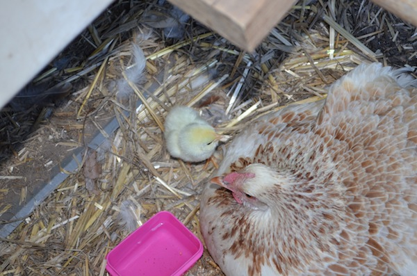 Chicks_2